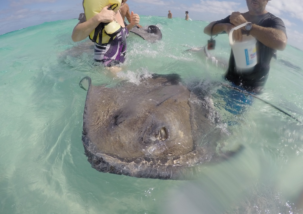 Rochen Fütterung auf Cayman Inseln