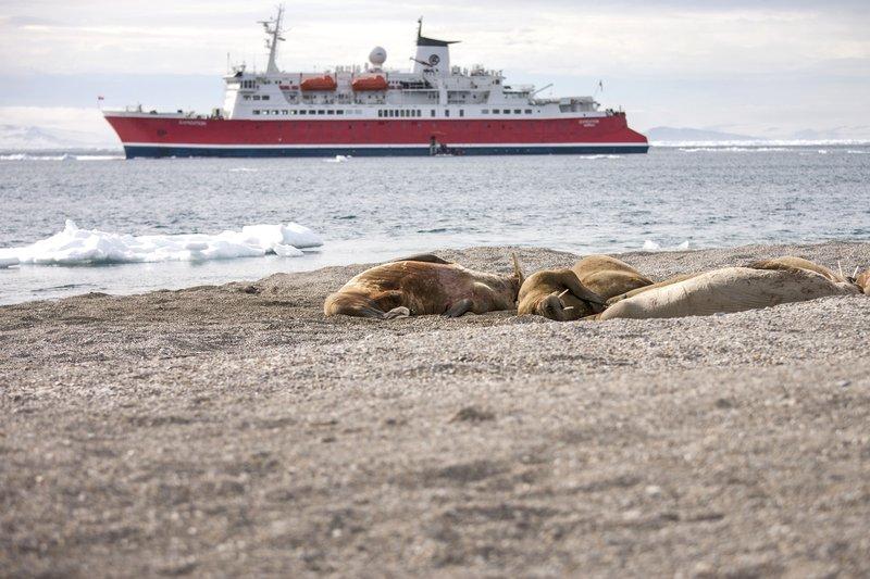 Walrosse auf Arktis-Kreuzfahrt