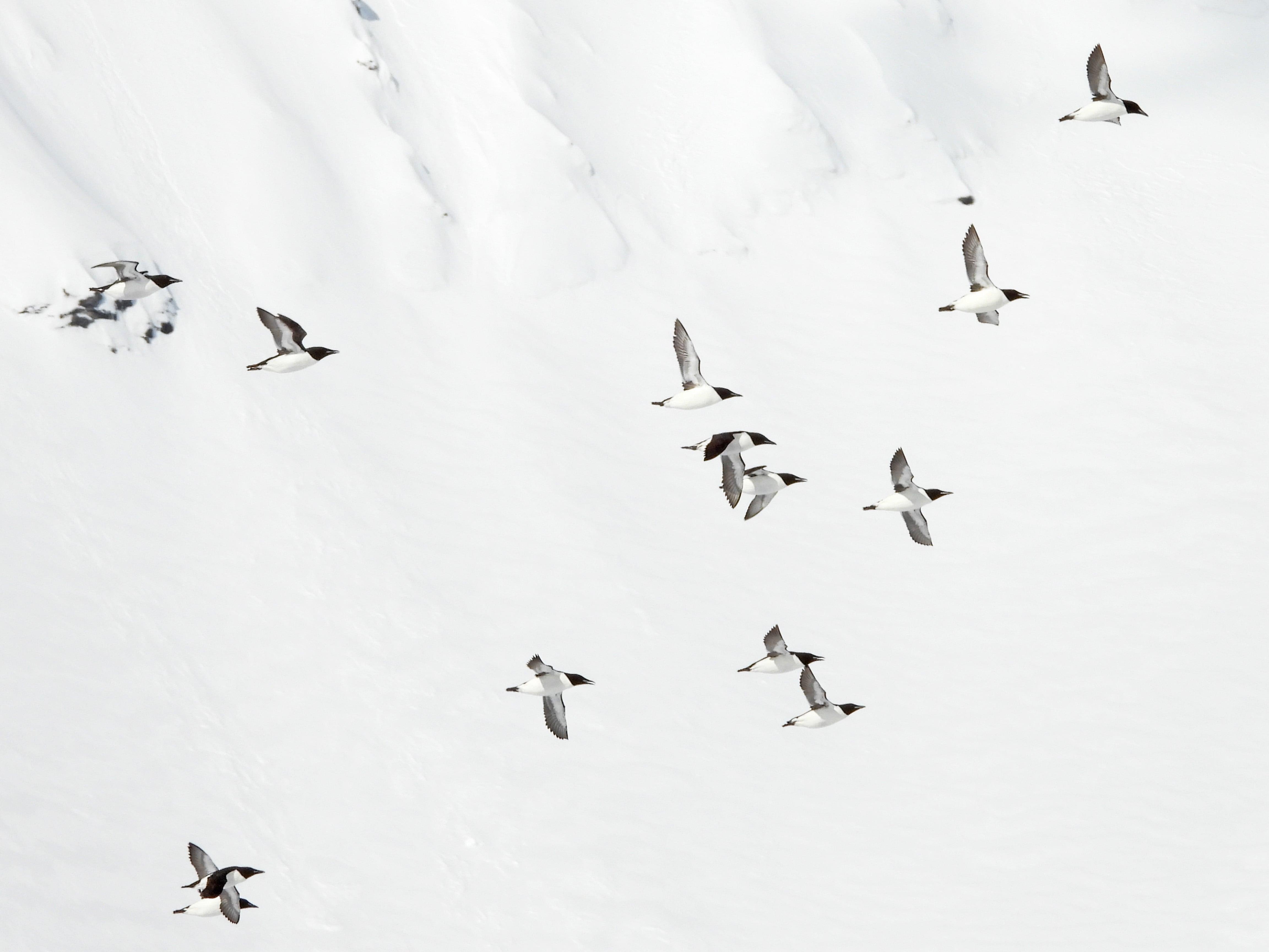 Krabbentaucher vor Schnee